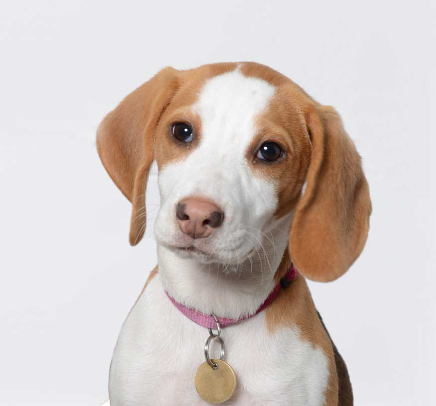 Evie the beagle as our newest and furriest team member